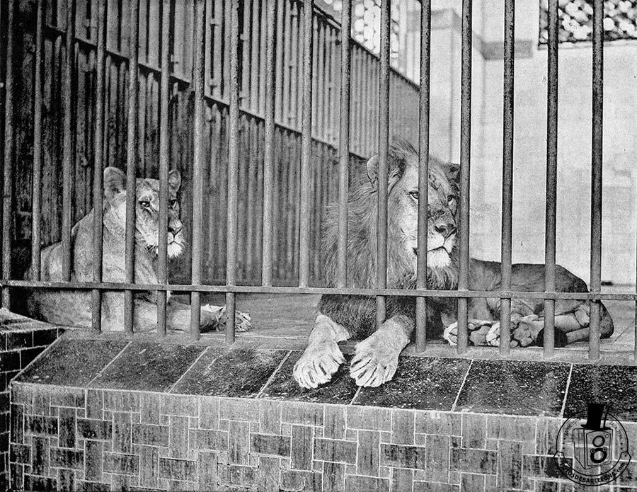 Leones enjaulados en el zoológico de Barcelona a principios del siglo XX . Foto: fotosdebarcelona.com